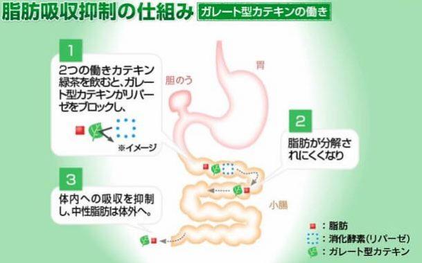 ガレート型カテキン脂肪吸収の抑制の仕組み